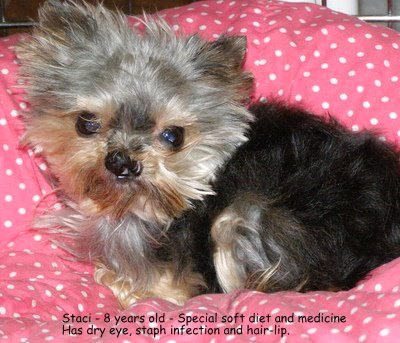 Staci Stolen during Burglary, Special Needs Female Yorkie
