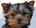 ¡Hola Paco! ¿Qué tal? Cute Yorkshire Terrier Puppy