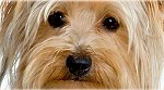 my-yorkshire-terrier.com