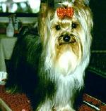 Dugmore Yorkshire Terriers